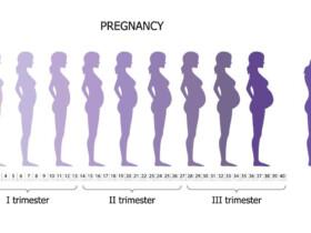 ilustrácia rastu bruška počas jednotlivých trimestrov tehotenstva